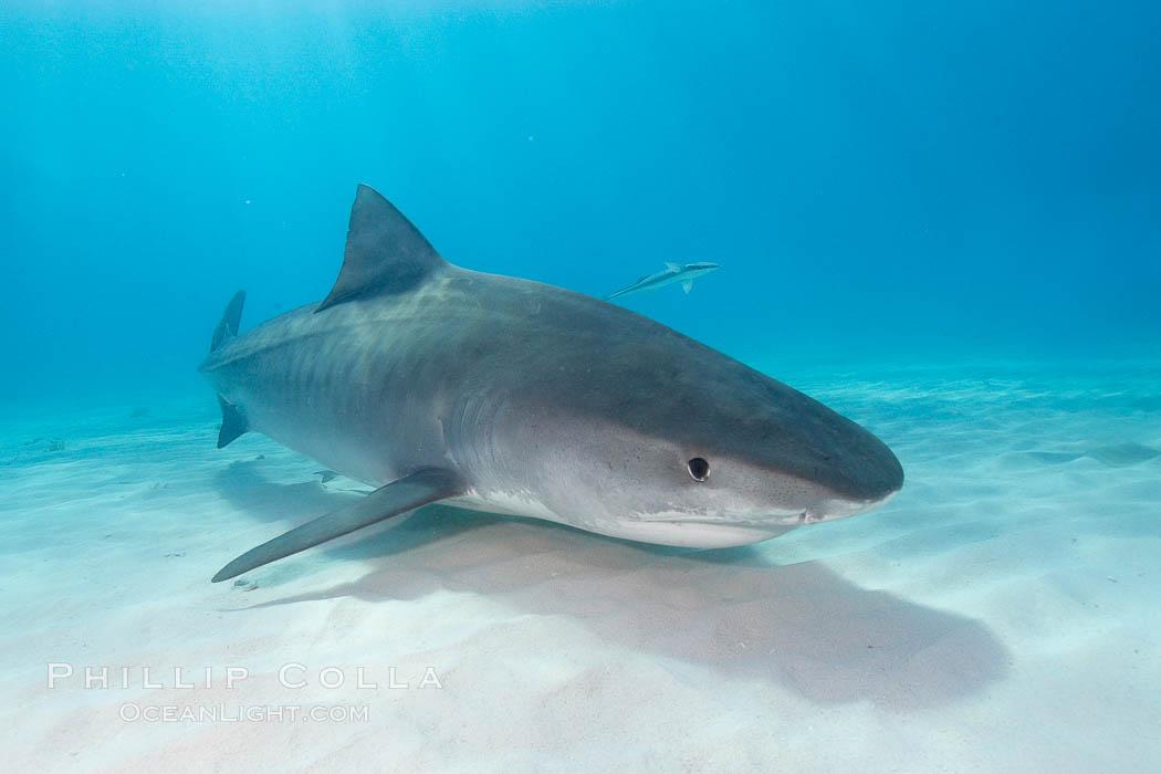 Tiger shark. Bahamas, Galeocerdo cuvier, natural history stock photograph, photo id 10716