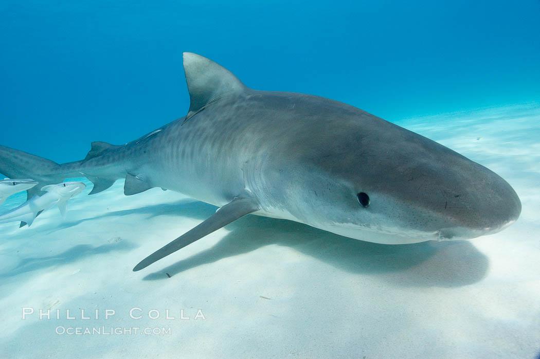 Tiger shark. Bahamas, Galeocerdo cuvier, natural history stock photograph, photo id 10693
