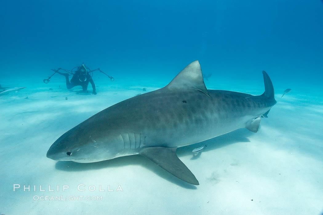 Tiger shark. Bahamas, Galeocerdo cuvier, natural history stock photograph, photo id 10705