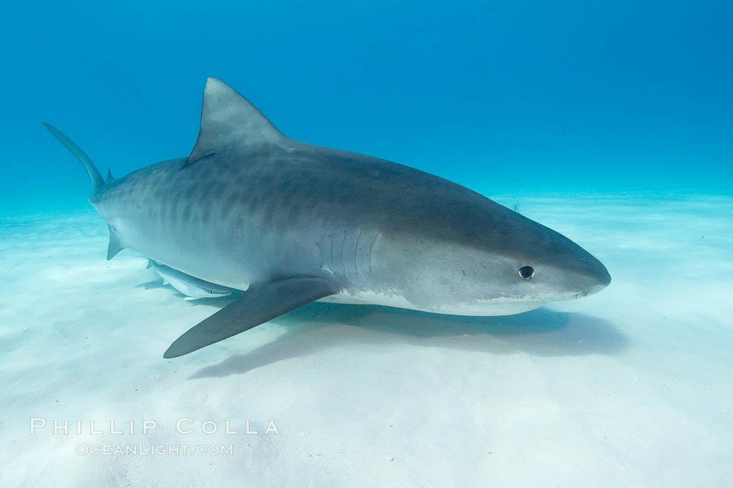 Tiger shark. Bahamas, Galeocerdo cuvier, natural history stock photograph, photo id 10717