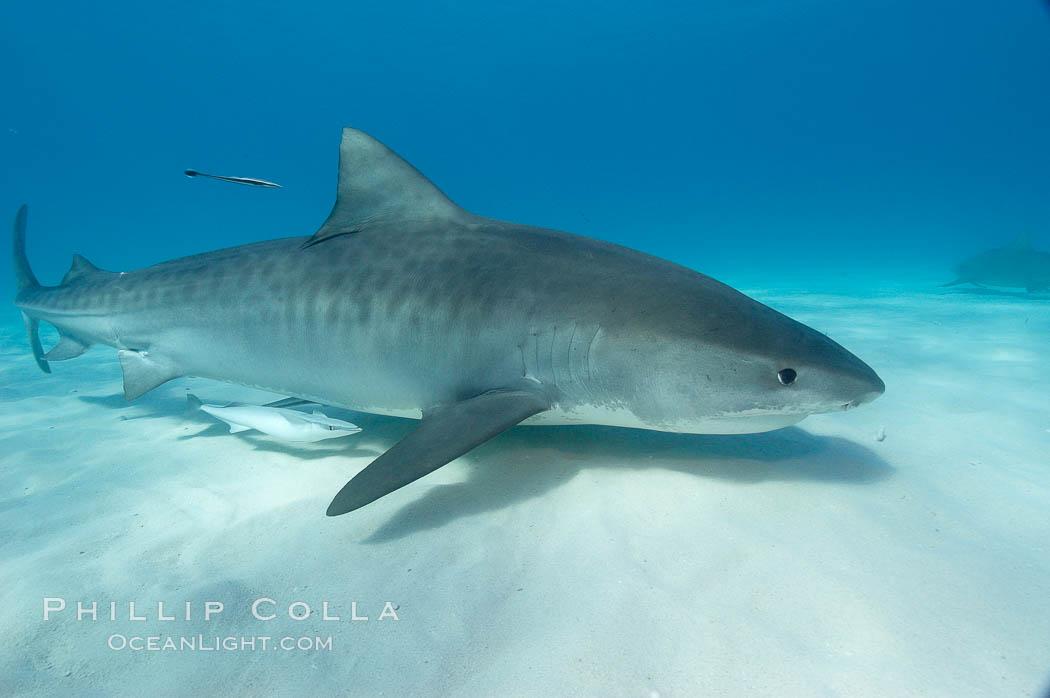 Tiger shark and live sharksucker (remora). Bahamas, Galeocerdo cuvier, Echeneis naucrates, natural history stock photograph, photo id 10658