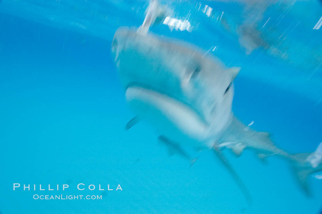 Tiger shark bumps the camera, photographed with a polecam (a camera on a long pole triggered from above the water, used by photographers who are too afraid to get in the water). Bahamas, Galeocerdo cuvier, natural history stock photograph, photo id 10750