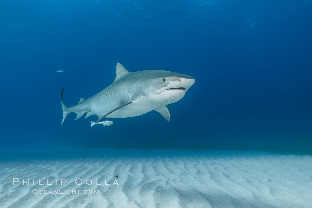 Panorama of large Tiger shark over white sand. Bahamas, Galeocerdo cuvier, natural history stock photograph, photo id 31905