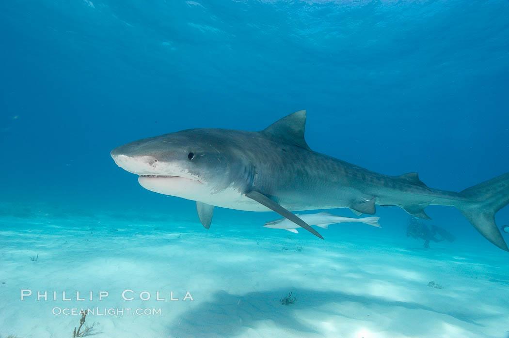 Tiger shark and live sharksucker (remora). Bahamas, Galeocerdo cuvier, Echeneis naucrates, natural history stock photograph, photo id 10652
