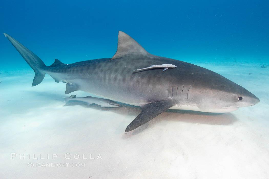 Tiger shark and live sharksucker (remora). Bahamas, Galeocerdo cuvier, Echeneis naucrates, natural history stock photograph, photo id 10647