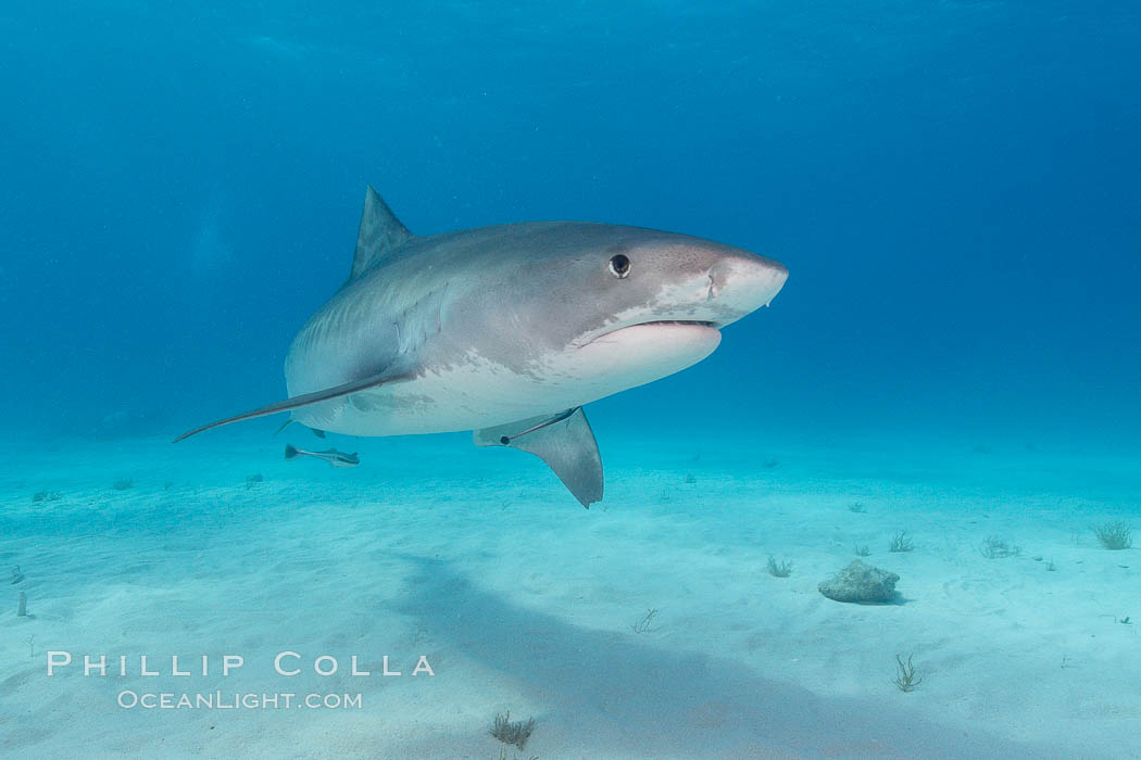 Tiger shark. Bahamas, Galeocerdo cuvier, natural history stock photograph, photo id 10663