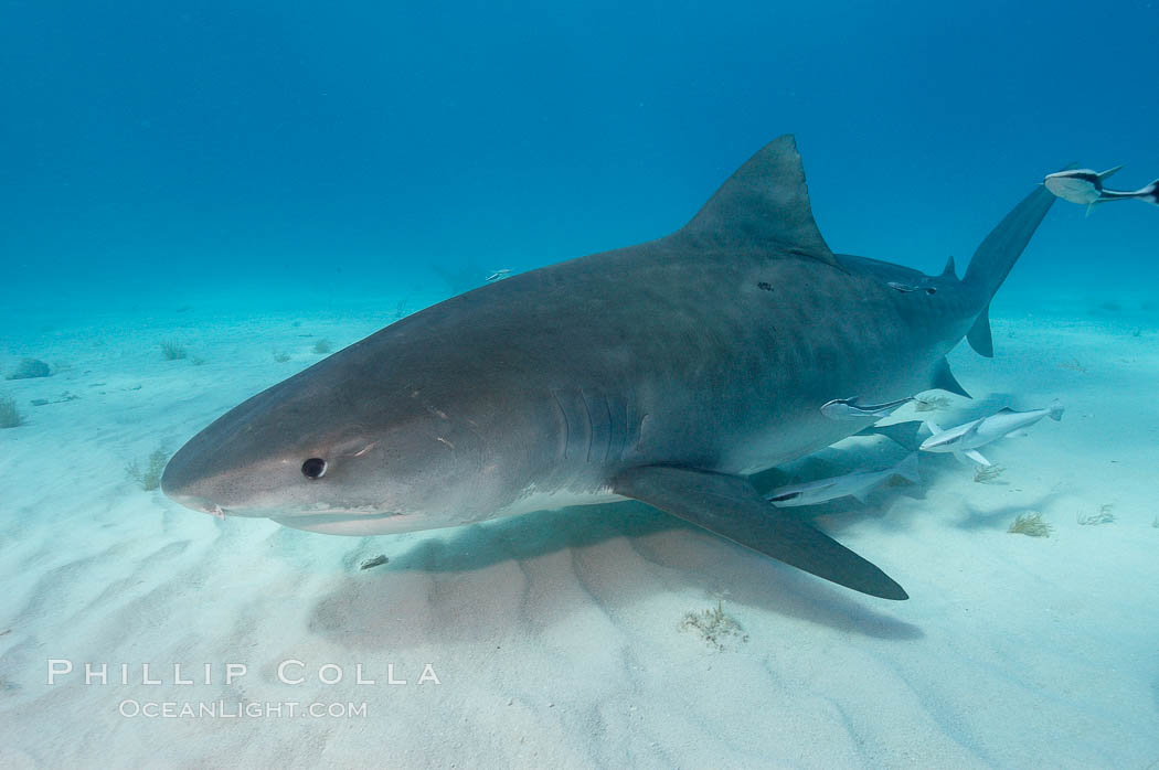 Tiger shark and live sharksucker (remora). Bahamas, Galeocerdo cuvier, Echeneis naucrates, natural history stock photograph, photo id 10669