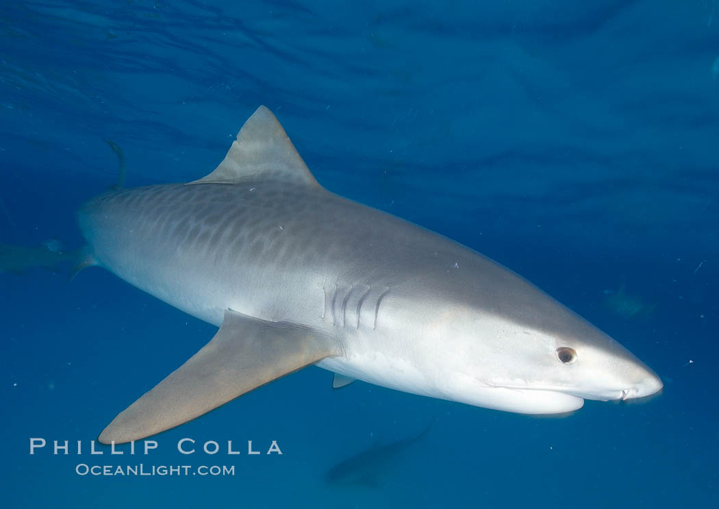 Tiger shark photographed with a polecam (a camera on a long pole triggered from above the water, used by photographers who are too afraid to get in the water). Bahamas, Galeocerdo cuvier, natural history stock photograph, photo id 10744