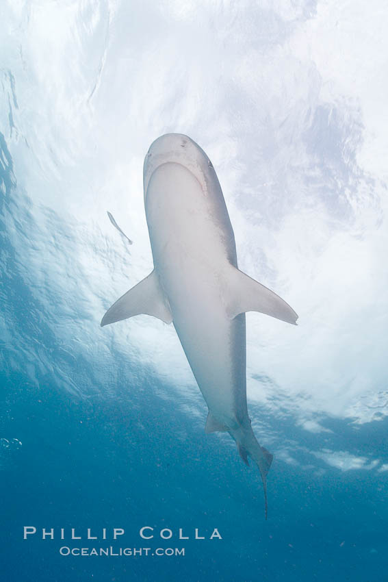 Tiger shark. Bahamas, Galeocerdo cuvier, natural history stock photograph, photo id 10727