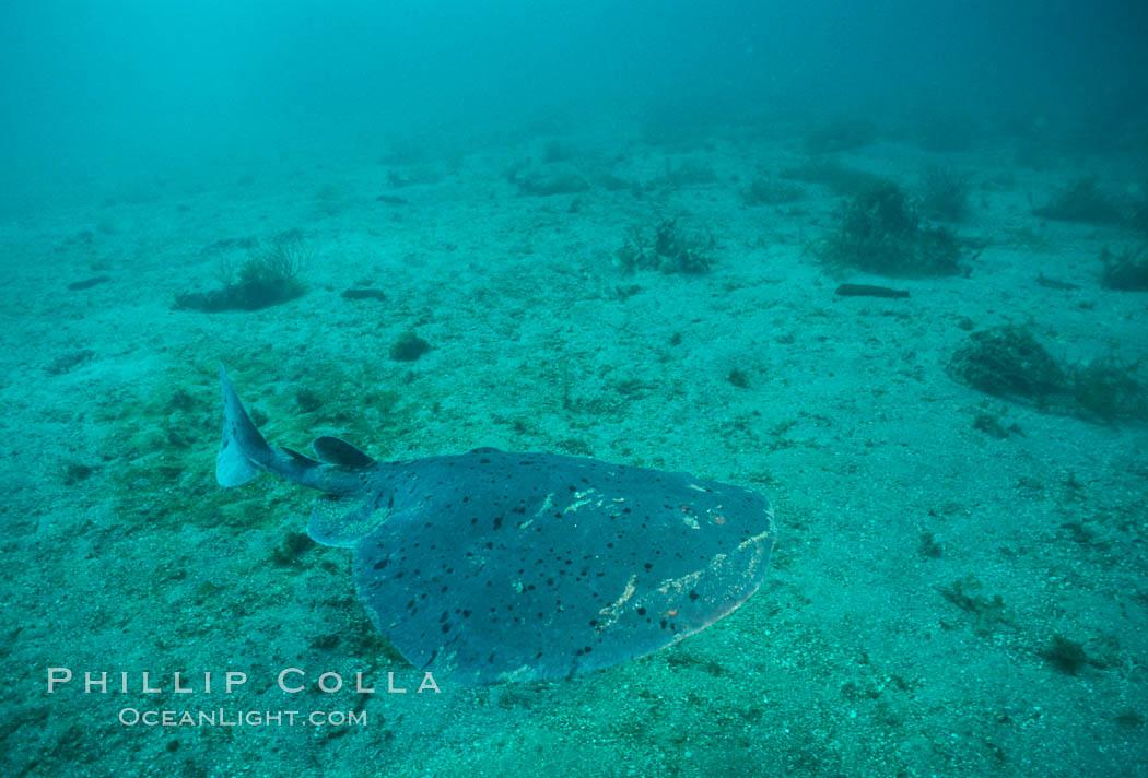 Image 02092, Pacific torpedo ray over sand, Catalina. Catalina Island, California, USA, Torpedo californica