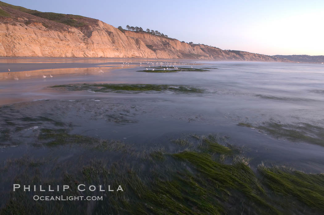 Eel grass sways in an incoming tide, with the sandstone cliffs of Torrey Pines State Reserve in the distance. Torrey Pines State Reserve, San Diego, California, USA, natural history stock photograph, photo id 14732