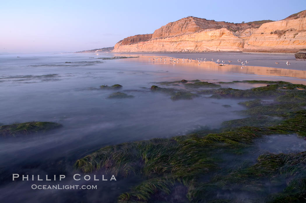 Eel grass sways in an incoming tide, with the sandstone cliffs of Torrey Pines State Reserve in the distance. Torrey Pines State Reserve, San Diego, California, USA, natural history stock photograph, photo id 14731