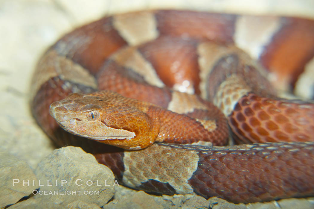 Trans-Pecos copperhead snake.  The Trans-Pecos copperhead is a pit viper found in the Chihuahuan desert of west Texas.  It is found near streams and rivers, wooded areas, logs and woodpiles., Agkistrodon contortrix pictigaster, natural history stock photograph, photo id 12581