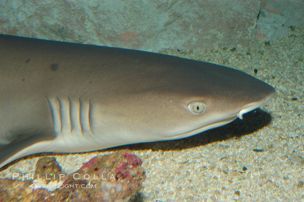 Image 07809, Whitetip reef shark., Triaenodon obesus, Phillip Colla, all rights reserved worldwide. Keywords: animal, chondrichthyes, danger, elasmobranch, elasmobranchii, eye, fear, gill, jaws, ocean, outdoors, outside, predator, reef whitetip shark, risk, sea, shark, shark anatomy, submarine, triaenodon obesus, underwater, whitetip reef shark, whitetip shark, wildlife.