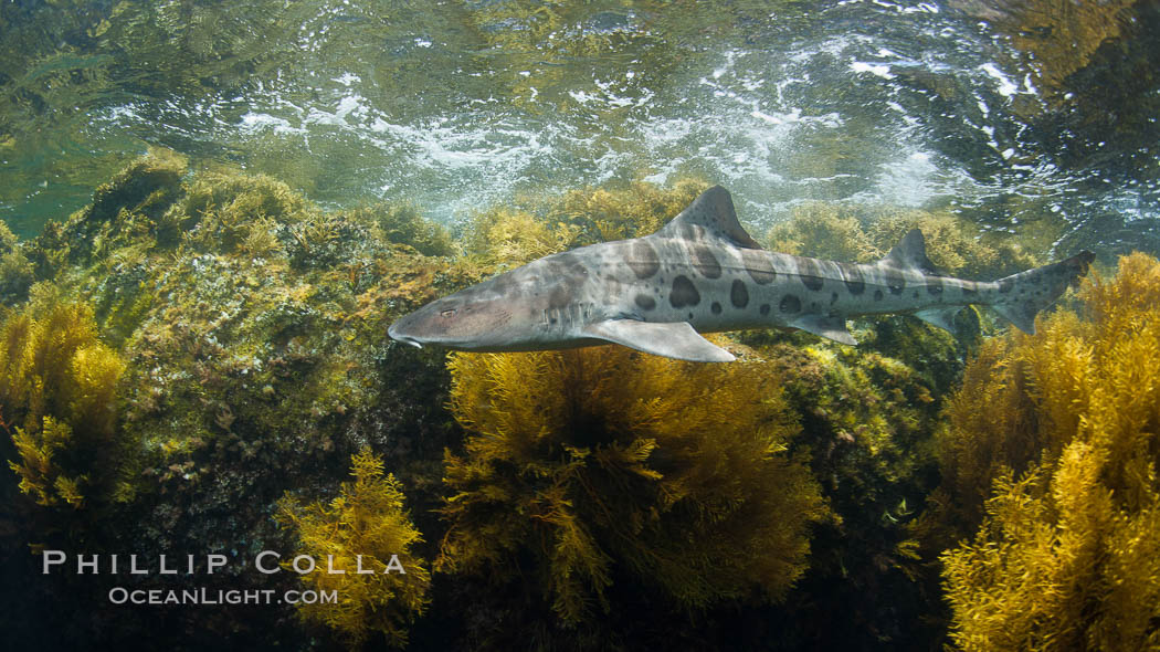 A leopard shark, swimming through the shallows waters of a California reef, underwater, Cystoseira osmundacea marine algae growing on rocky reef. San Clemente Island, USA, Triakis semifasciata, Cystoseira osmundacea, natural history stock photograph, photo id 25417