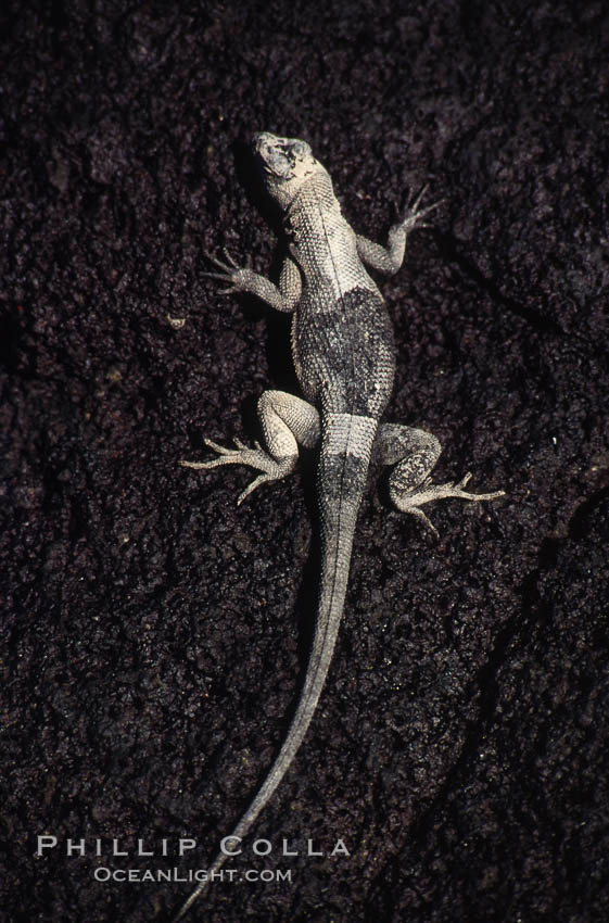 Lava lizard, Punta Espinosa. Fernandina Island, Galapagos Islands, Ecuador, Tropidurus, natural history stock photograph, photo id 01748