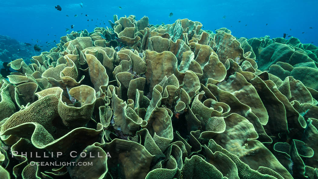 Spectacular display of pristine cabbage coral, Turbinaria reniformis, in Nigali Pass on Gao Island, Fiji. Nigali Passage, Gau Island, Lomaiviti Archipelago, Turbinaria reniformis, Cabbage Coral, natural history stock photograph, photo id 31530