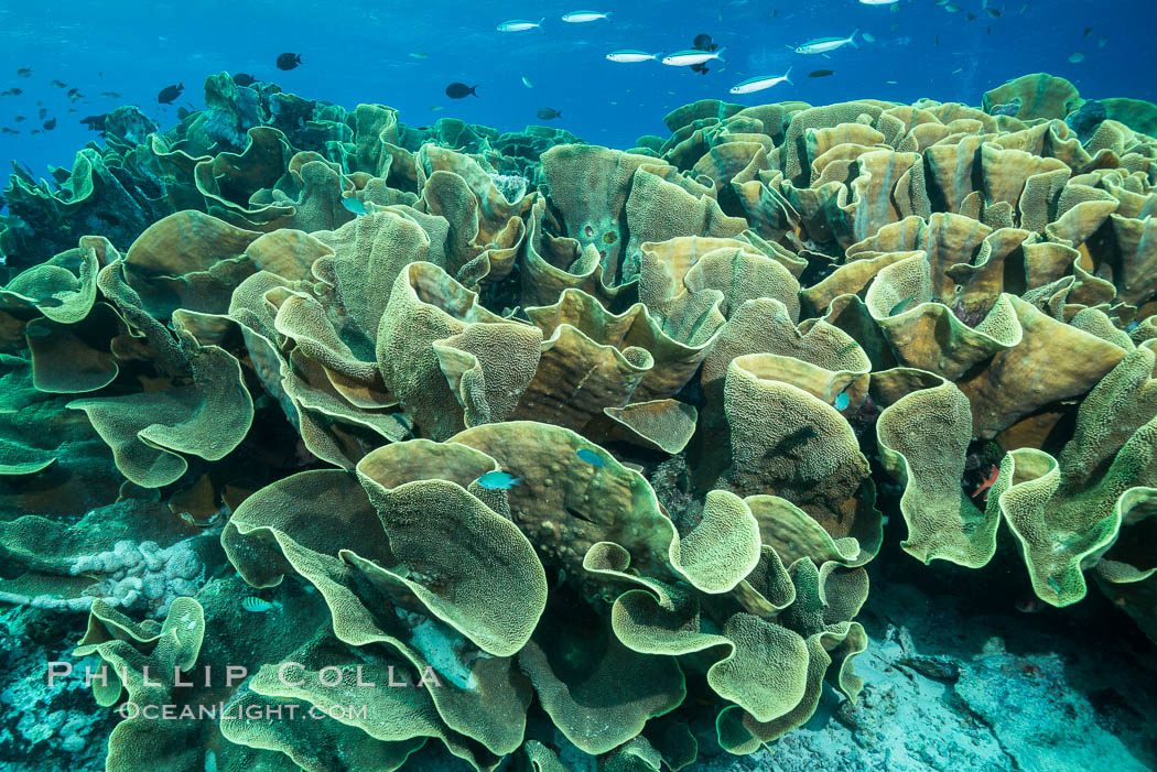 Spectacular display of pristine cabbage coral, Turbinaria reniformis, in Nigali Pass on Gao Island, Fiji. Nigali Passage, Gau Island, Lomaiviti Archipelago, Fiji, Turbinaria reniformis, Cabbage Coral, natural history stock photograph, photo id 31536