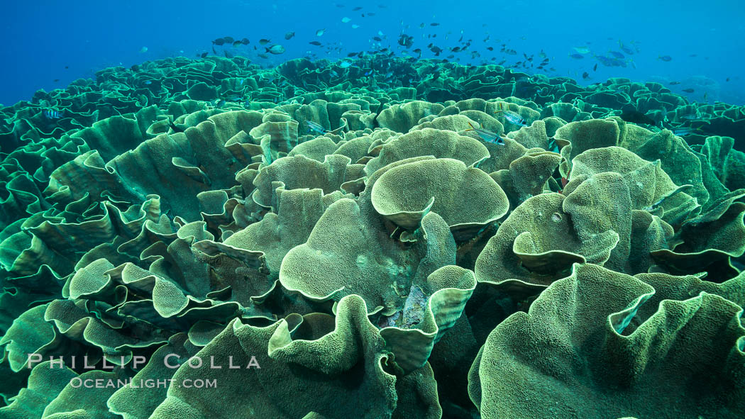 Spectacular display of pristine cabbage coral, Turbinaria reniformis, in Nigali Pass on Gao Island, Fiji. Nigali Passage, Gau Island, Lomaiviti Archipelago, Fiji, Turbinaria reniformis, Cabbage Coral, natural history stock photograph, photo id 31391