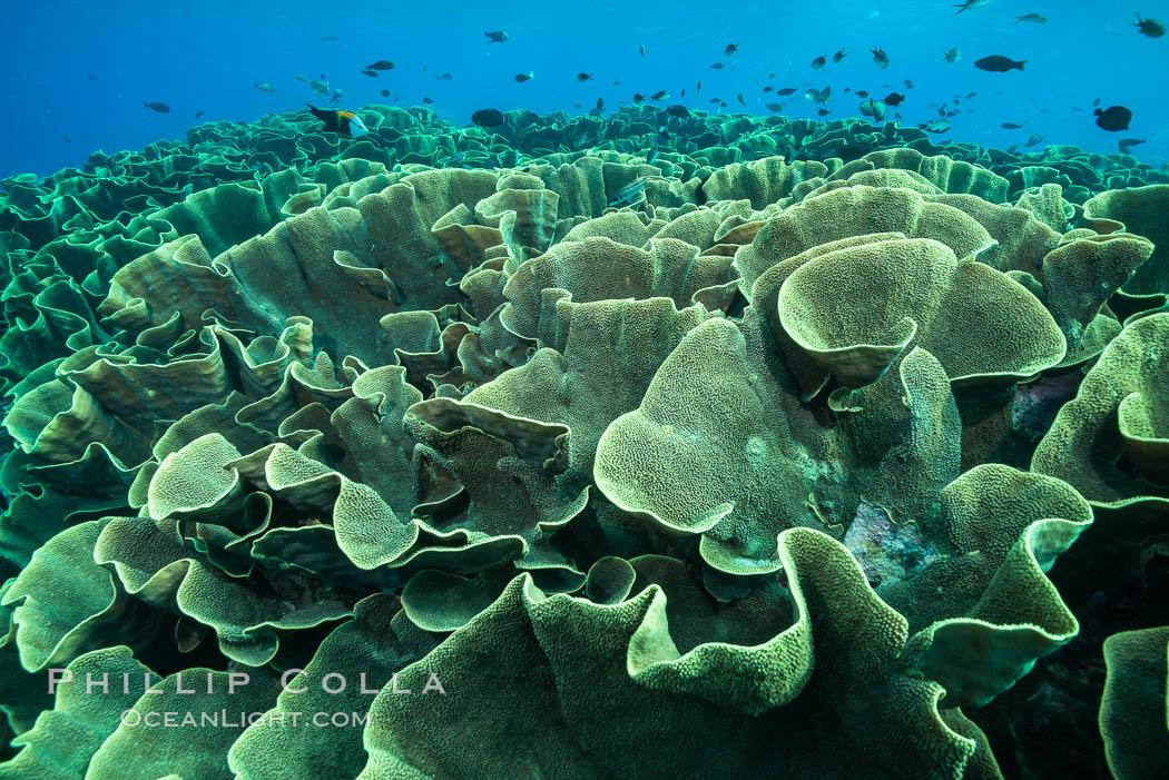 Spectacular display of pristine cabbage coral, Turbinaria reniformis, in Nigali Pass on Gao Island, Fiji. Nigali Passage, Gau Island, Lomaiviti Archipelago, Fiji, Turbinaria reniformis, Cabbage Coral, natural history stock photograph, photo id 31735