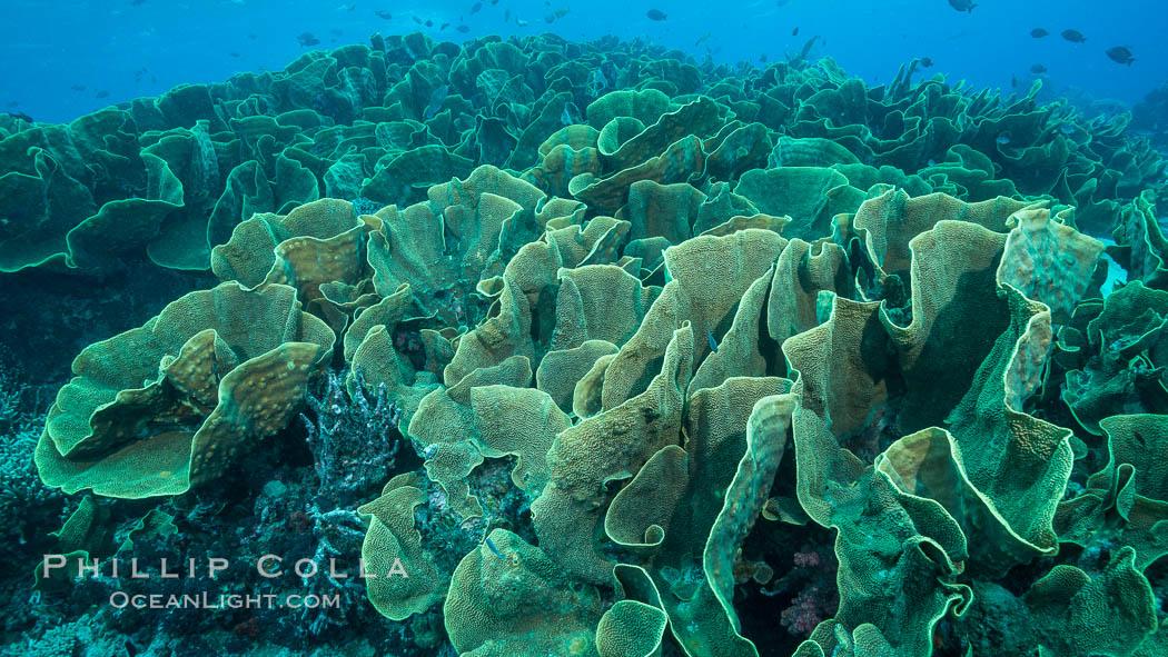 Spectacular display of pristine cabbage coral, Turbinaria reniformis, in Nigali Pass on Gao Island, Fiji. Nigali Passage, Gau Island, Lomaiviti Archipelago, Fiji, Turbinaria reniformis, Cabbage Coral, natural history stock photograph, photo id 31733