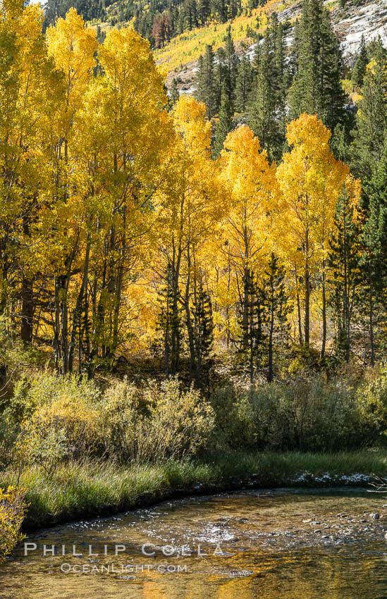 Turning aspen trees in Autumn, South Fork of Bishop Creek Canyon. Bishop Creek Canyon, Sierra Nevada Mountains, California, USA, natural history stock photograph, photo id 35837