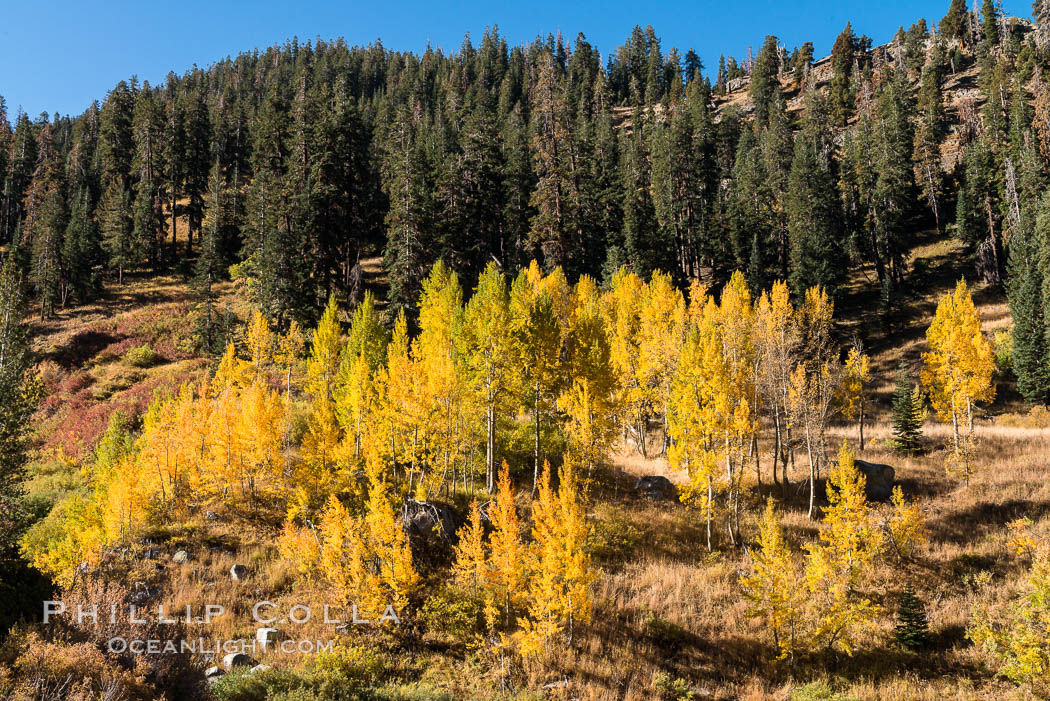 Aspens show fall colors in Mineral King Valley, part of Sequoia National Park in the southern Sierra Nevada, California. USA, natural history stock photograph, photo id 32278