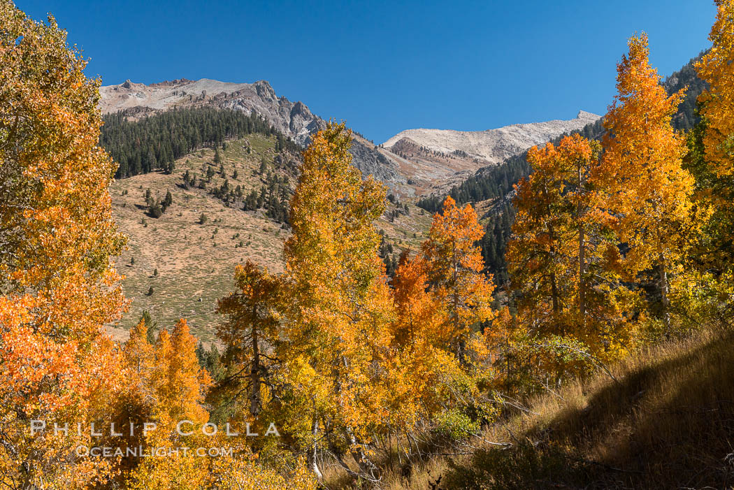 Aspens show fall colors in Mineral King Valley, part of Sequoia National Park in the southern Sierra Nevada, California. USA, natural history stock photograph, photo id 32298