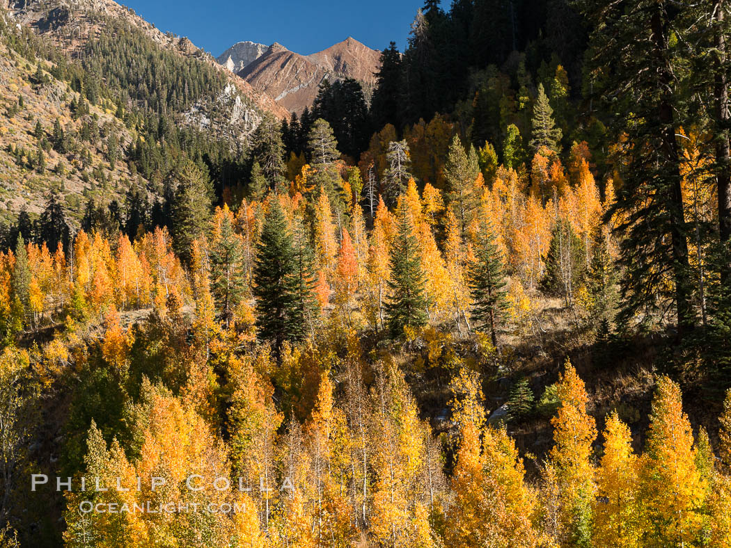 Aspens show fall colors in Mineral King Valley, part of Sequoia National Park in the southern Sierra Nevada, California. USA, natural history stock photograph, photo id 32276