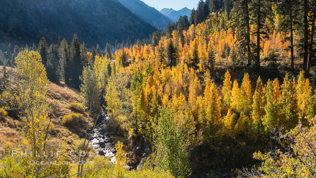 Aspens show fall colors in Mineral King Valley, part of Sequoia National Park in the southern Sierra Nevada, California. USA, natural history stock photograph, photo id 32259
