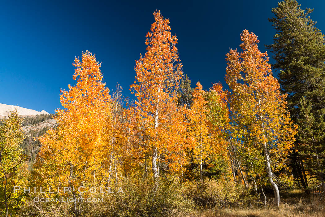 Aspens show fall colors in Mineral King Valley, part of Sequoia National Park in the southern Sierra Nevada, California. USA, natural history stock photograph, photo id 32271
