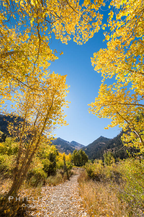 Aspens show fall colors in Mineral King Valley, part of Sequoia National Park in the southern Sierra Nevada, California. USA, natural history stock photograph, photo id 32287