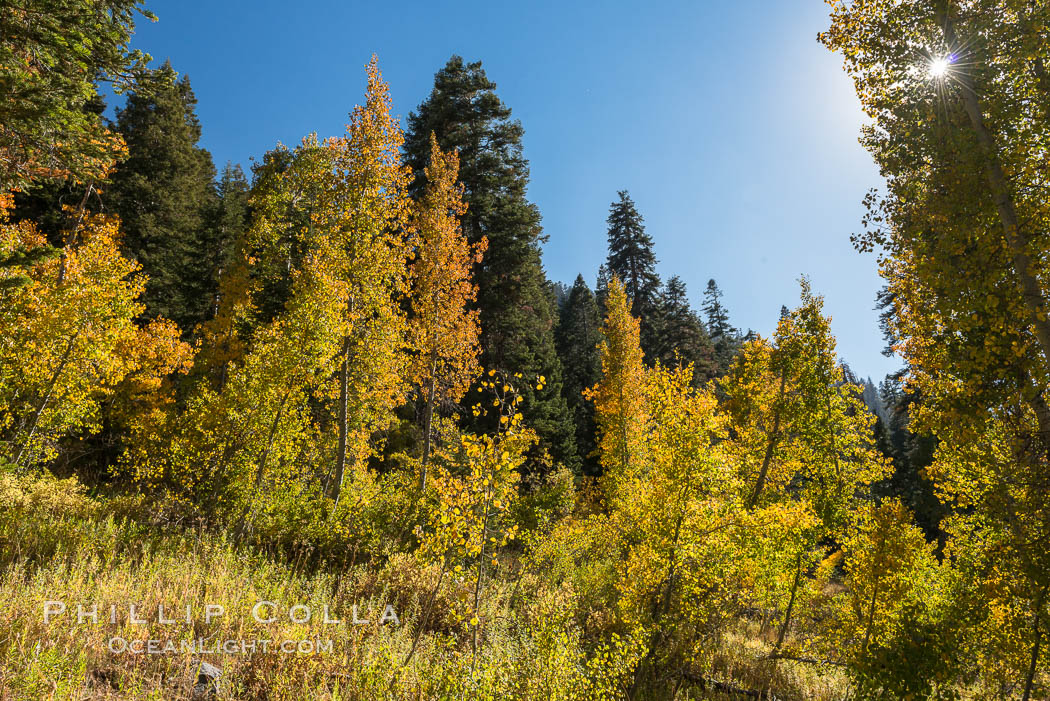 Aspens show fall colors in Mineral King Valley, part of Sequoia National Park in the southern Sierra Nevada, California. USA, natural history stock photograph, photo id 32265