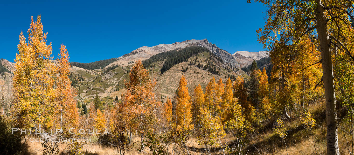 Aspens show fall colors in Mineral King Valley, part of Sequoia National Park in the southern Sierra Nevada, California. Mineral King, Sequoia National Park, California, USA, natural history stock photograph, photo id 32293