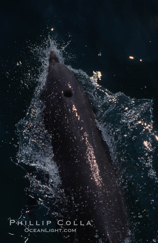 Image 04906, Atlantic  bottlenose dolphin. Bahamas, Tursiops truncatus, Phillip Colla, all rights reserved worldwide. Keywords: animal, atlantic, bahamas, blowhole, bottlenose dolphin, bottlenosed dolphin, cetacea, cetacean, delphinidae, dolphin, dolphin anatomy, dolphin behavior, dolphin blow spout, dolphin blowhole, dolphin bow-riding, marine mammal, oceans, odontocete, odontoceti, truncatus, tursiops, tursiops truncatus.