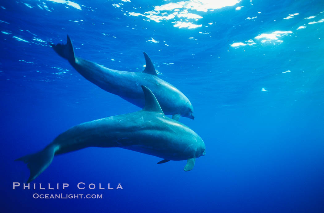 Pacific bottlenose dolphin. Guadalupe Island (Isla Guadalupe), Baja California, Mexico, Tursiops truncatus, natural history stock photograph, photo id 00968