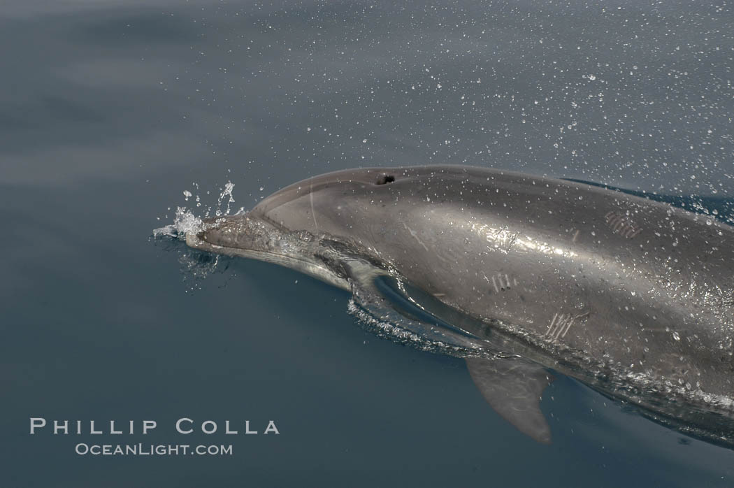 Pacific bottlenose dolphin opens its blowhole to breathe at the ocean surface.  Open ocean near San Diego. San Diego, California, USA, Tursiops truncatus, natural history stock photograph, photo id 07172