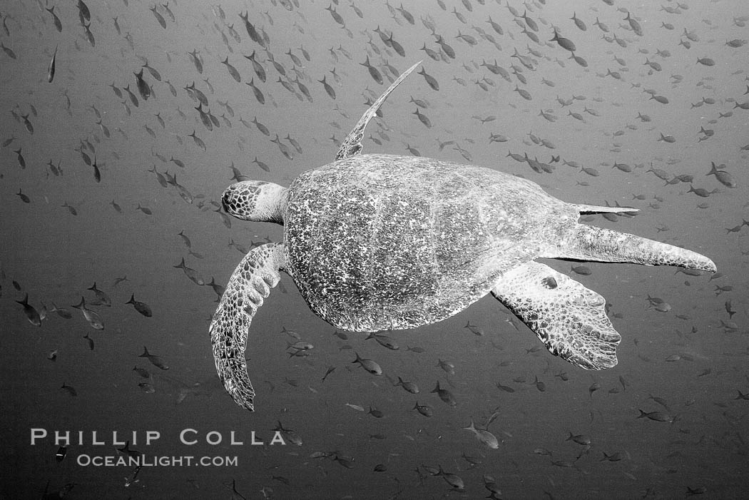 Sea Turtle, underwater, black and white. Wolf Island, Galapagos Islands, Ecuador, natural history stock photograph, photo id 16382