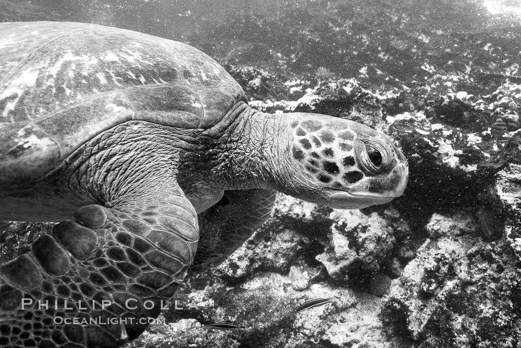 Turtle, Black and white / grainy. Bartolome Island, Galapagos Islands, Ecuador, natural history stock photograph, photo id 16386