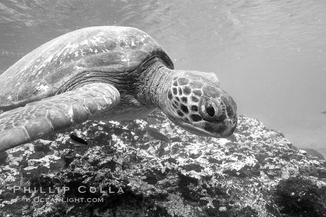Turtle, Black and white / grainy. Bartolome Island, Galapagos Islands, Ecuador, natural history stock photograph, photo id 16387