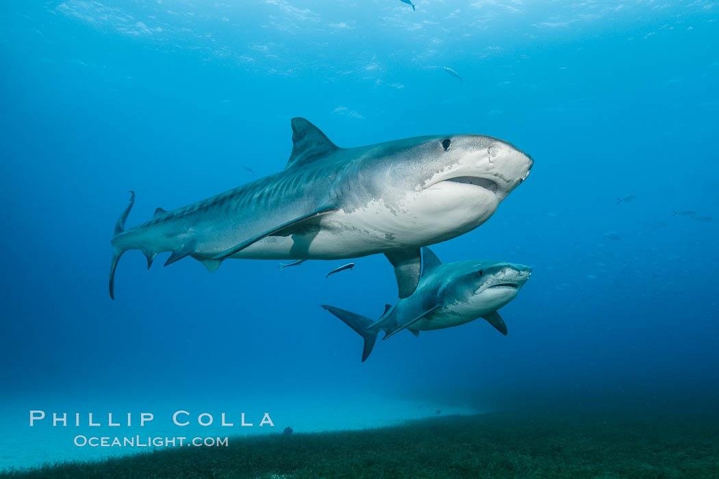 Two tiger sharks. Bahamas, Galeocerdo cuvier, natural history stock photograph, photo id 31892