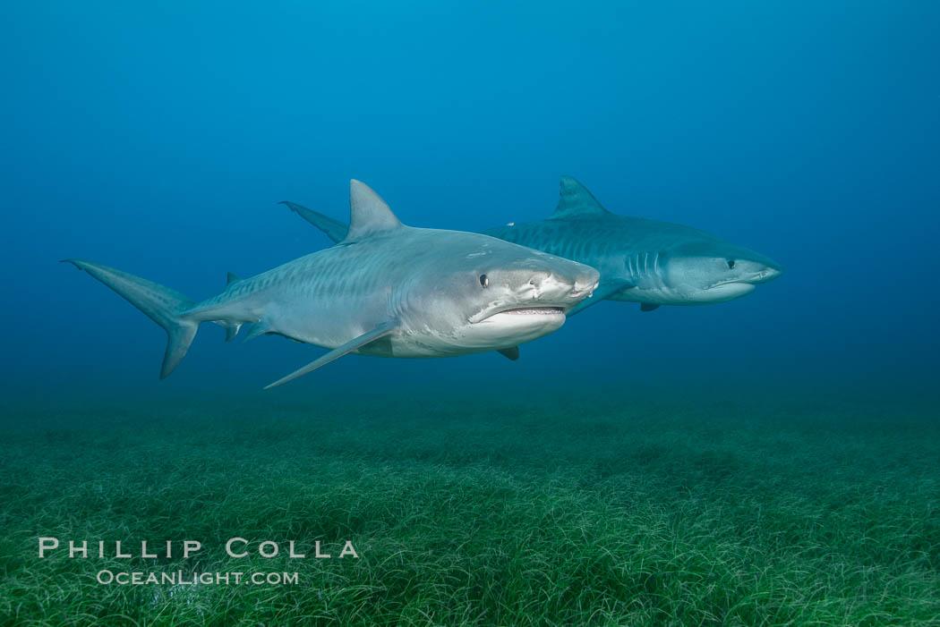 Two tiger sharks. Bahamas, Galeocerdo cuvier, natural history stock photograph, photo id 31891