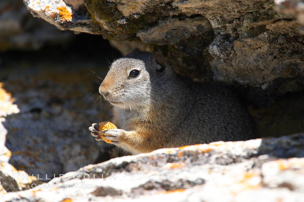 Uinta ground squirrels are borrowers. In the winter these squirrels hibernate, and in the summer they aestivate (become dormant for the summer). Yellowstone National Park, Wyoming, USA, Spermophilus armatus, natural history stock photograph, photo id 13066