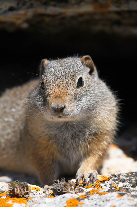 Uinta ground squirrels are borrowers. In the winter these squirrels hibernate, and in the summer they aestivate (become dormant for the summer). Yellowstone National Park, Wyoming, USA, Spermophilus armatus, natural history stock photograph, photo id 13060