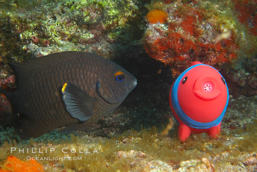 Undescribed fish species. Cousins, Galapagos Islands, Ecuador, natural history stock photograph, photo id 16467