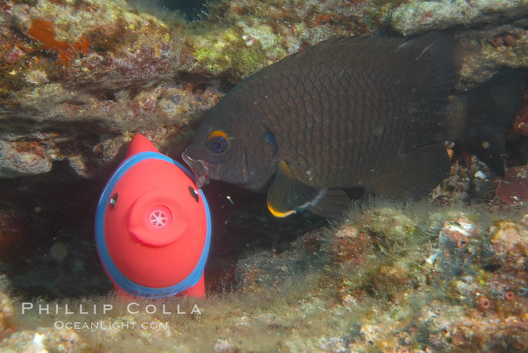 Undescribed fish species. Cousins, Galapagos Islands, Ecuador, natural history stock photograph, photo id 16469