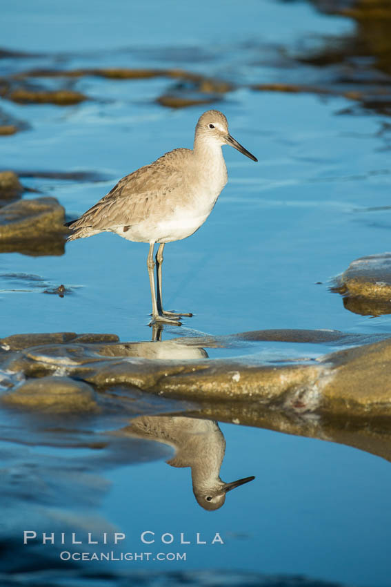 Willet. La Jolla, California, USA, Catoptrophurus semipalmatus, natural history stock photograph, photo id 30310