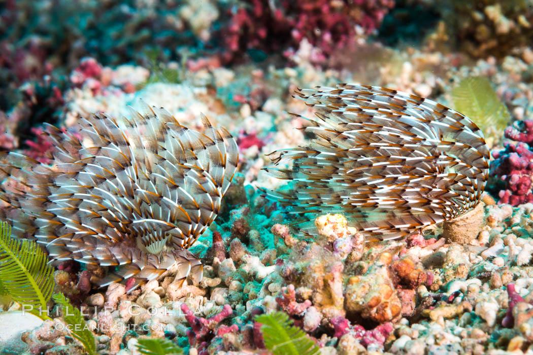 Unidentified Serpulid Polychaete Worm, Detail, Sea of Cortez. Isla San Diego, Baja California, Mexico, natural history stock photograph, photo id 33562
