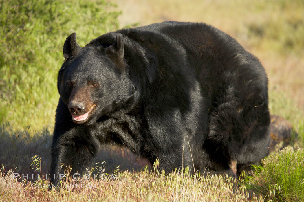 American black bear, adult male., Ursus americanus, natural history stock photograph, photo id 12249