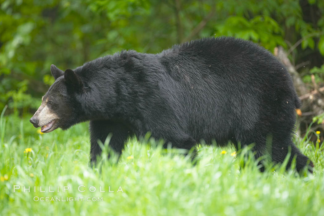 American black bear in grassy meadow. Orr, Minnesota, USA, Ursus americanus, natural history stock photograph, photo id 18766